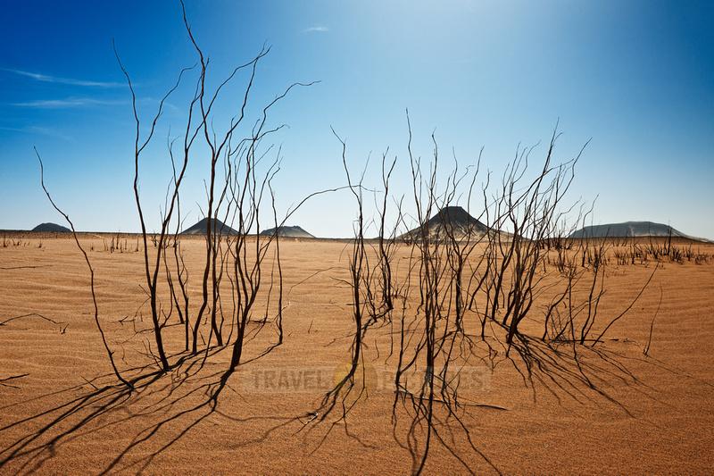withered shrubs in black desert