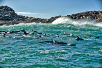 herd of hunting bottlenose dolphin