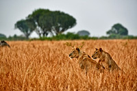 two lioness in grassland