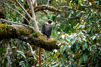 Red-tailed Monkey, Cercopithecus ascanius