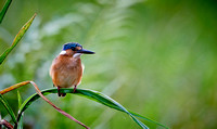 Malachite kingfisher, Alcedo cristata