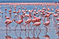 flamboyance of Lesser Flamingos