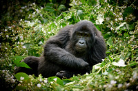 relaxing young mountain gorilla