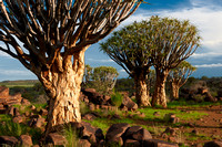 Quiver tree forest