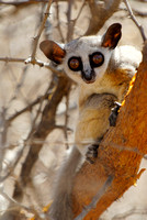 Lesser or Senegal Bushbaby