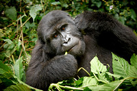 young eating mountain gorilla