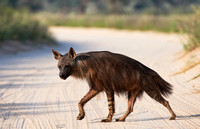Brown Hyena, Parahyaena brunnea