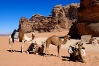 four camels in Wadi Rum