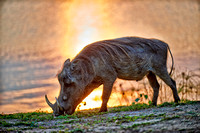 Warthog during sunset
