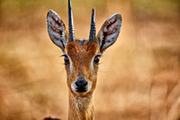 close up of a Oribi