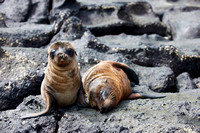 two young Galapagos Sea Lion