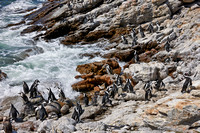 Colony of African Penguin
