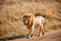 huge male lion walking