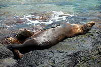 breastfeeding Galapagos Sea Lion