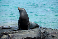 male Galapagos Sea Lion