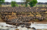 herd of wildebeest crossing Mara River