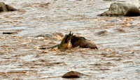crocodile snapping wildebeest during crossing Mara River