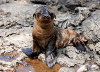 young Galapagos Sea Lion
