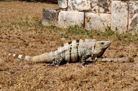 Black Spiny-tailed Iguana or Black Iguana