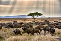 herd of African buffalos at sunset