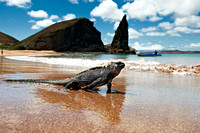 Marine Iguana at beach with rock formation
