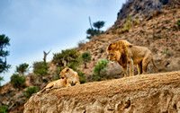 mating lions in Ngorongoro crater