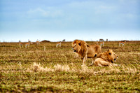 two huge male lion on hunt