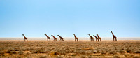 Giraffes in the vastness of a dry Serengeti