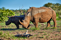 Southern white rhinoceros with young