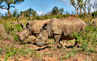 two Southern white rhinoceros