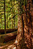 Cathedral Grove in MacMillan Park