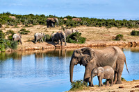 African bush elephants with youngster