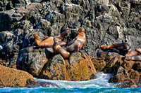 colony of Steller sea lion