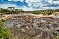 huge amount of Hippos in Hippo-Pool, Serengeti