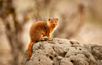 Common dwarf mongoose, Tarangire National Park 2015