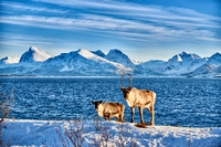 Reindeer at sea