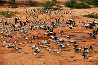 Demoiselle Cranes spend the winter in Rajasthan