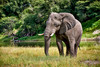 African elephant at Boteti River,