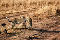 leopard playing with cub in Serengeti