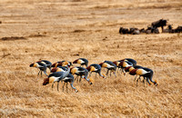 Black crowned cranes in Ngorongoro crater