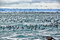huge swarm of cormorants in Mossel Bay