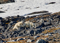 two polar bear cubs (Ursus maritimus)