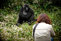 tourist with Mountain Gorilla