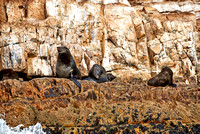 Colony of brown fur seal