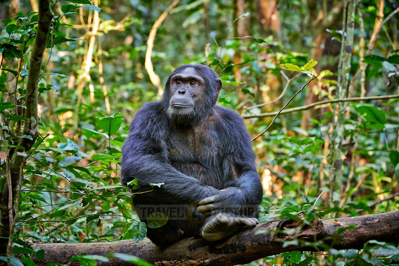 Common chimpanzee, Pan troglodytes