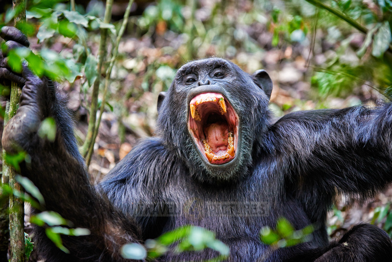 screaming Common chimpanzee, Pan troglodytes