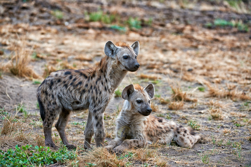 two young spotted hyenas, Crocuta crocuta