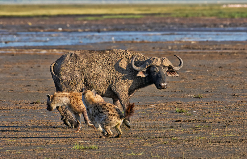 Spotted Hyenas hunting African Buffalo