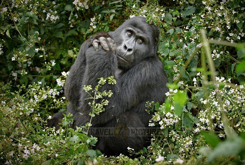 praying mountain gorilla