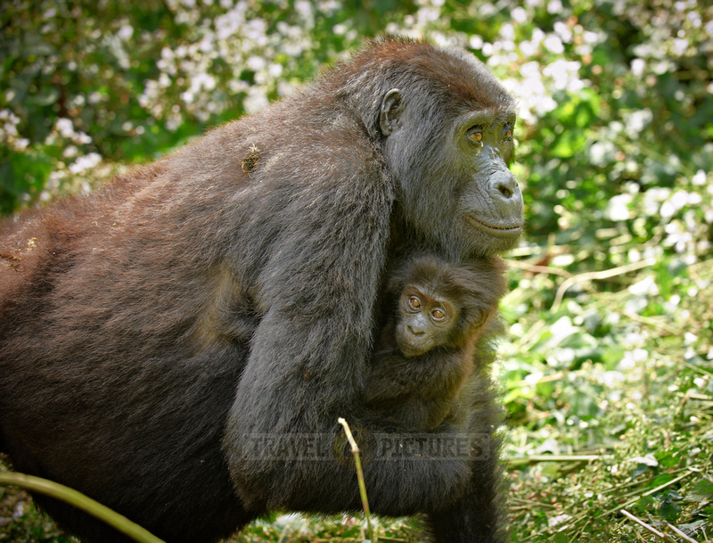 mother with baby mountain gorilla